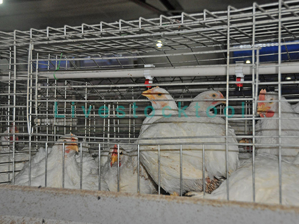 broiler cage for chicken